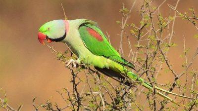 İskender Papağanı Hakkında Bilgi