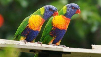 Gökkuşağı Lori Papağanı Hakkında Bilgi