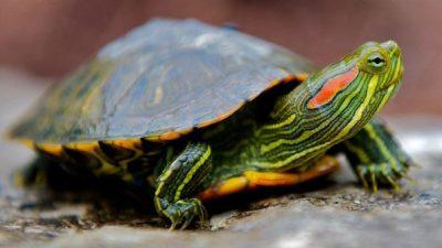Kırmızı Yanaklı Su Kaplumbağalarının Beslenmesi