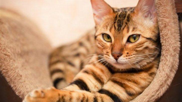 Kedilerde İç ve Dış Parazitlerin Belirtileri
