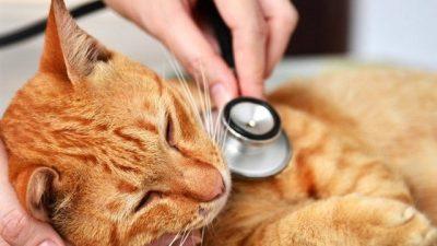 Feline Panleukopenia (Kedi Gençlik Hastalığı)