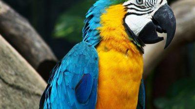 Mavi Sarı Ara Papağanı Özellikleri