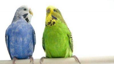Muhabbet Kuşlarında İshal Nedenleri ve Tedavisi
