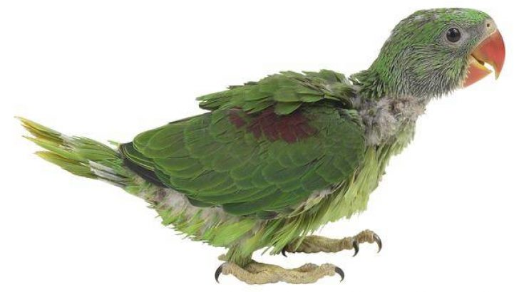 Papağanlarda Tüy Dökülmesi Nedenleri ve Tedavisi