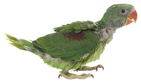 Papağanlarda Tüy Dökülmesi