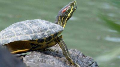 Kırmızı Yanaklı Su Kaplumbağası Özellikleri