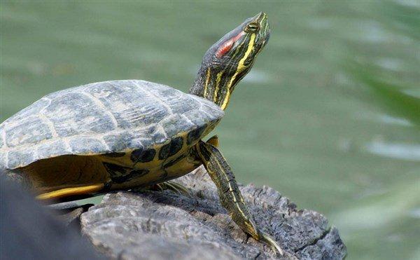 Singapur Kaplumbağası