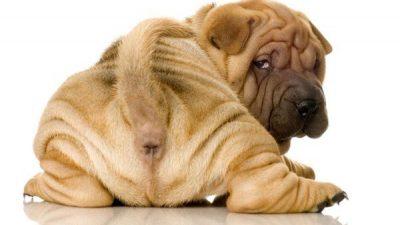 Yavru Köpeklerde İshal Nedenleri ve Tedavisi