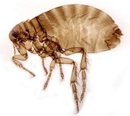 Ctenocephalis canis