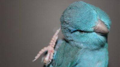 Forpus Papağanı Hakkında Bilgi