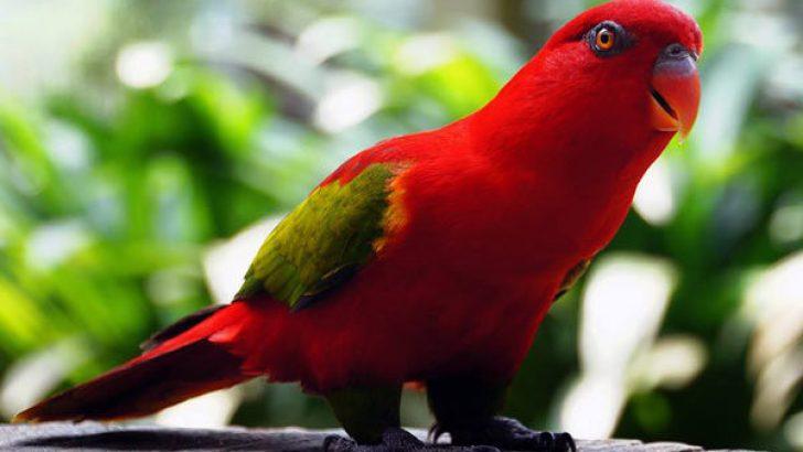 Geveze Lori Papağanı Hakkında Bilgi