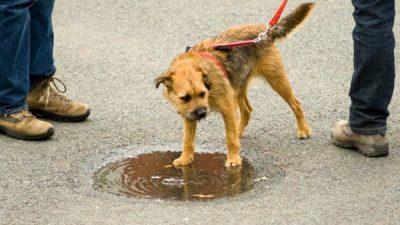 Köpeklerde Zehirlenmeler