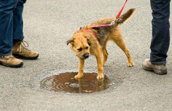 Köpeklerde Zehirlenme