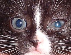 Kedi Konjoktivit Belirtileri