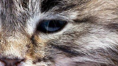 Kedilerde Konjonktivit Hakkında Bilgi
