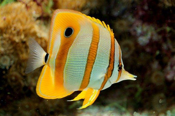 Kelebek Balığı