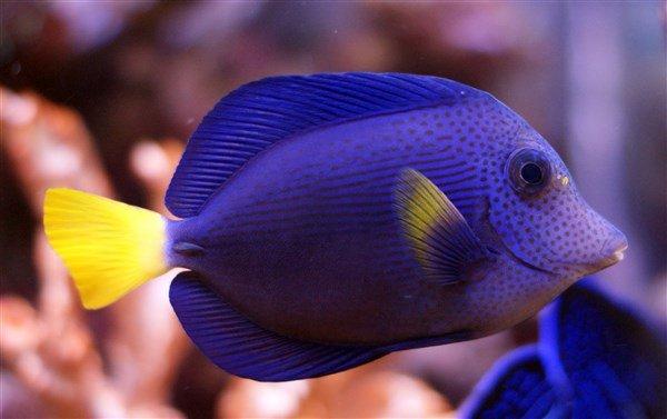 Mor Tang Balığı