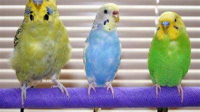 Muhabbet Kuşlarında Yaş Nasıl Anlaşılır?