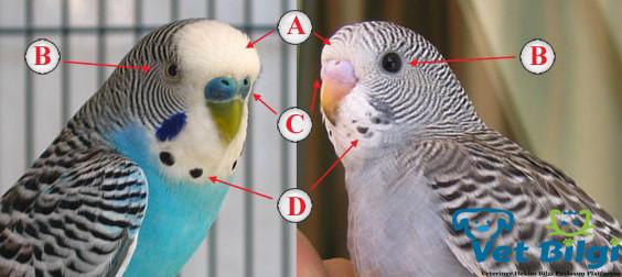 Muhabbet Kuşlarında Yaş Tayini