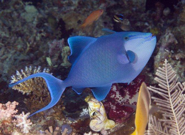 Niger Trigger Balığı