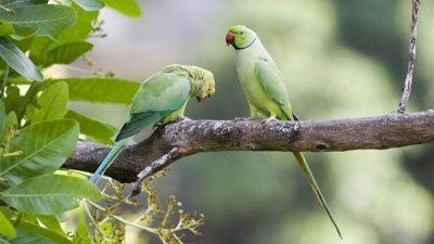Pakistan Papağanı Özellikleri