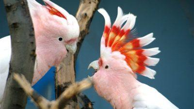Kakadu Papağanları Hakkında Genel Bilgiler