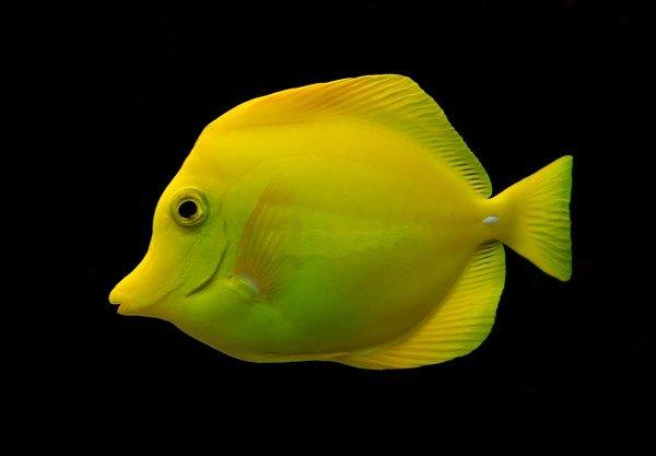 Sarı Tang Balığı