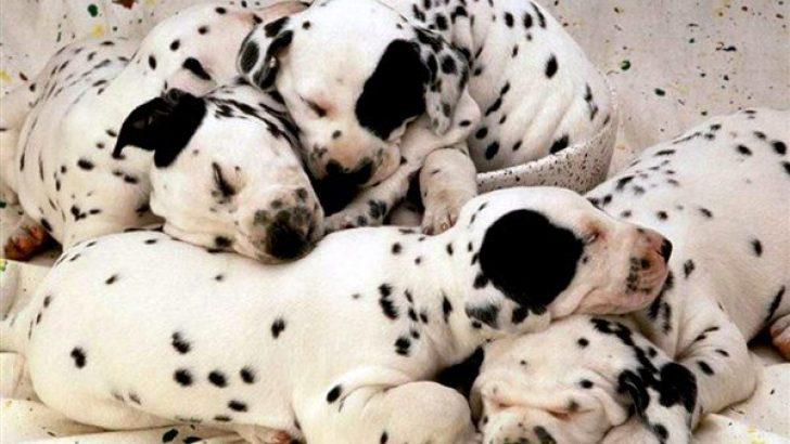Dişi Köpeklerde Östrus Siklusu
