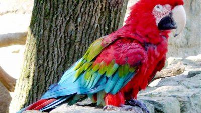 Yeşil Kanat Ara Papağanı