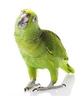 amazan papağanı