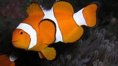 Palyaço Balığı Türleri