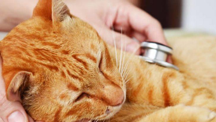 Kedilerde Karın Şişliği Nedenleri