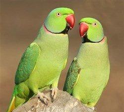 iskender papağanı