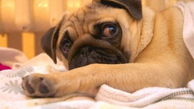 Köpeklerde Bayılma (Senkop)