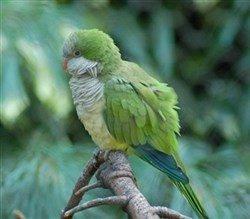 monk papağanı