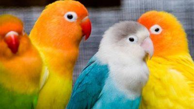 Sevda Papağanı Hakkında Bilgi