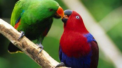 Eclectus Papağanı Hakkında Bilgi
