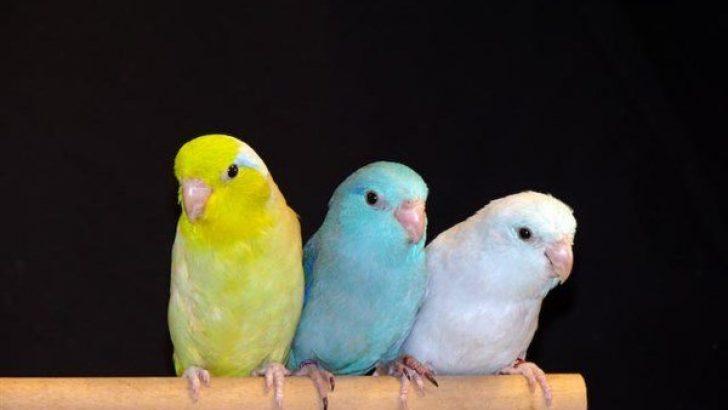 Forpus Papağanı Özellikleri
