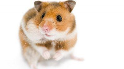 Hamsterlarda Hastalık Belirtileri