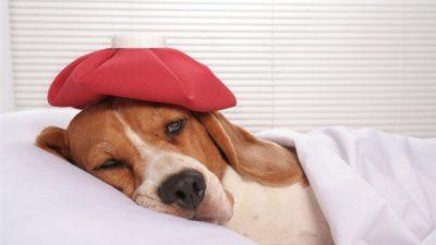 Köpeklerde Lyme Hastalığı