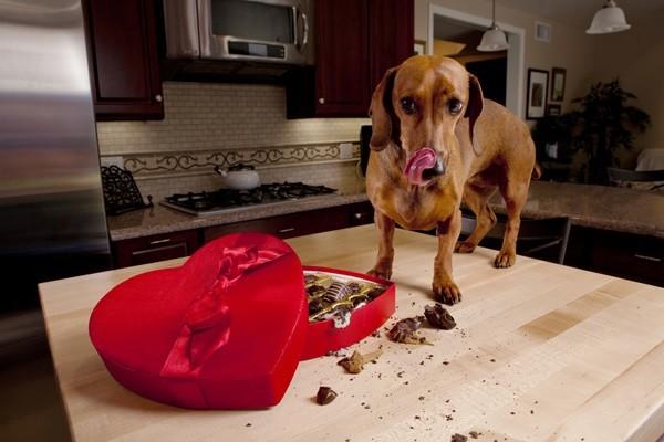 Köpek Çikolata Zehirlenmesi