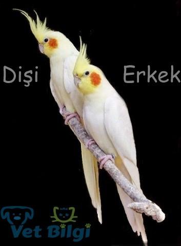 Lutino Sultan Papağanı Cinsiyet