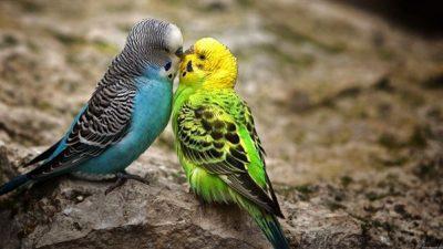 Muhabbet Kuşlarında Üreme ve Yavru Bakımı