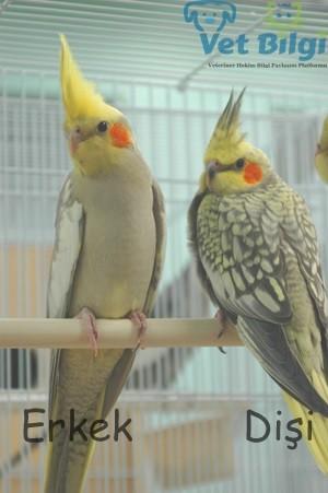 Pearl Sultan Papağanı Cinsiyet