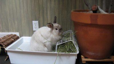 Tavşanlarda Tuvalet Eğitimi