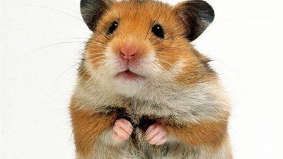 Hamsterlarda Cinsiyet Ayrımı