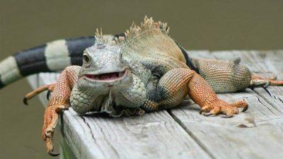 İguanalar Hakkında Genel Bilgiler