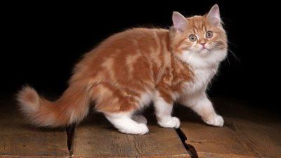 Kedilerde Topallama Nedenleri