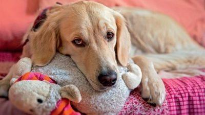 Köpeklerde Yalancı Gebelik