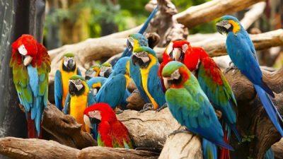 Ara (Macaw) Papağanları ve Türleri